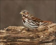Fox-Sparrow;Sparrow;Passerella-iliaca;one-animal;close-up;color-image;nobody;pho
