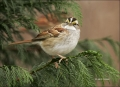 White-throated-Sparrow;Sparrow;Zonotrichia-albicollis;one-animal;close-up;color-