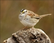 Sparrow;North-Carolina;White-throated-Sparrow;Zonotrichia-albicollis;one-animal;