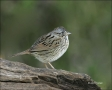 Lincolns-Sparrow;Sparrow;Texas;Southwest-USA;Bathing;Melospiza-lincolnii;one-ani