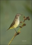 Florida;Southeast-USA;Palm-Warbler;Warbler;Dendroica-palmarum;one-animal;close-u