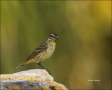 Florida;Southeast-USA;Warbler;Palm-Warbler;Dendroica-palmarum;one-animal;close-u