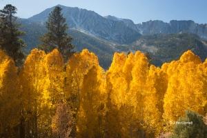 Aspens;California;Eastern-Sierra;Fall-Color;Fall-Foliage
