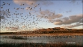 Bosque-del-Apache;Snow-Geese;Geese;Chen-caerulescens;Sunrise;Mountains;Scenic;Wa