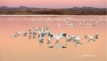 Snow-Goose;Goose;Chen-caerulescens;Sunset;Snow-Geese;New-Mexico;Water