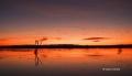 Snow-Goose;Goose;Chen-caerulescens;Scenic;Sunrise;Bosque-del-Apache;Water;Reflec