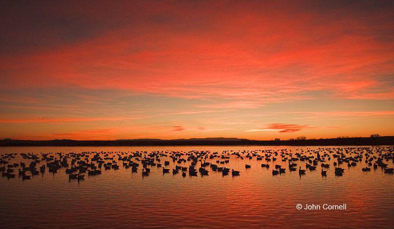 Snow Goose;Goose;Chen caerulescens;Scenic;Sunrise;Bosque del Apache;Snow Geese;New Mexico;Water;Clouds