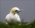 Gannet;Northern-Gannet;Morus-bassanus;portrait;one-animal;close-up;color-image;p