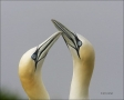 Gannet;Northern-Gannet;Morus-bassanus;Breeding-Behavior;Courtship;portrait;Two-a
