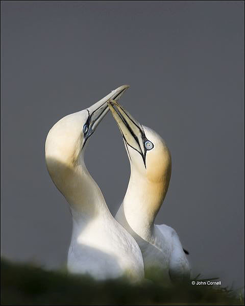 Gannet;Northern Gannet;Morus bassanus;Breeding Behavior;Courtship;portrait;Two animals;close-up;color image;photography;day;birds;animals in the wild;Newfoundland;watchful;courtship;outdoors;Wildlife;two animals;Breeding Plumage