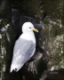Kittiwake;Black-legged-Kittiwake;Rissa-tridactyla;one-animal;close-up;color-imag