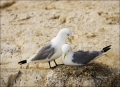 Kittiwake;Black-legged-Kittiwake;Nest;one-animal;close-up;color-image;photograph