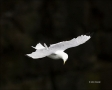 Black-legged_Kittiwake