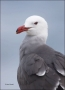 California;Southwest-USA;Heermanns-Gull;Gull;Larus-heermanni;portrait;one-animal