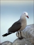 Heermanns-Gull;Gull;California;Larus-heermanni;one-animal;close-up;color-image;p