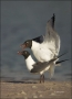 Florida;Southeast-USA;Laughing-Gull;Gull;Larus-atricilla;Breeding-Behavior;Two-A