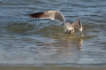 Laughing-Gull;Gull;Larus-atricilla;Flying-bird;action;aloft;behavior;flight;fly;