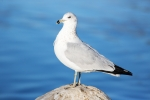 Animals-in-the-Wild;Blue-Water;Gull;Larus-delawarensis;Ring-billed-Gull;Seabird;