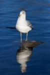 Ring-billed_Gull