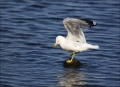 Gull;Ring-billed-Gull;Larus-delawarensis;one-animal;close-up;color-image;photogr