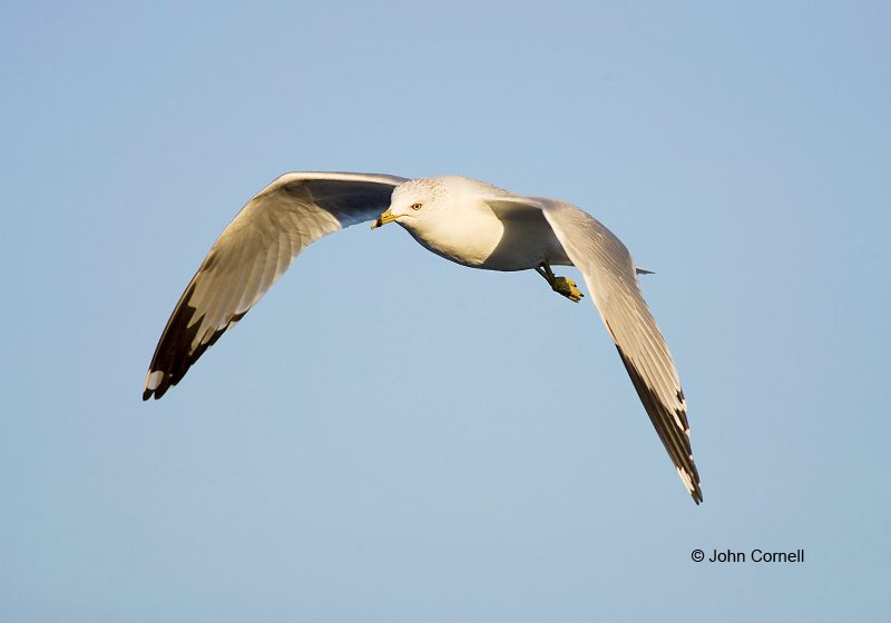 Southwest USA;Gull;Flight;Ring-billed Gull;Larus delawarensis;Flying bird;One animal;Close-up;Color image;photography;day;Outdoors;Wildlife;Birds;Animals in the wild;action;active;aloft;in flight;motion;movement;soar;soaring;winged;wings;behavior;California;Close up;close up