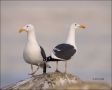 Western-Gull;Gull;California;Southwest-USA;Larus-occidentalis;one-animal;close-u