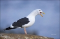 California;Southwest-USA;Western-Gull;Gull;Larus-occidentalis;one-animal;close-u