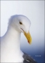 California;Southern;USA;Western-Gull;Gull;Larus-occidentalis;portrait;one-animal