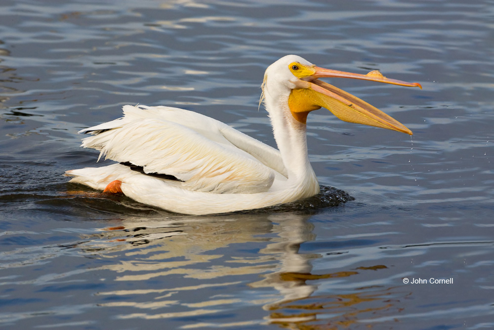 American White Pelican;Breeding Plumage;One;Pelecanus erythrorhynchos;Pelican;White Pelican;avifauna;bird;birds;color image;color photograph;feather;feathered;feathers;natural;nature;outdoor;outdoors;wild;wilderness;wildlife