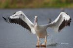 American-White-Pelican;Pelecanus-erythrorhynchos;Pelican;White-Pelican
