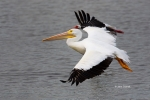 American-White-Pelican;Flying-Bird;Pelecanus-erythrorhynchos;Pelican;Photography