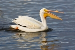 American-White-Pelican;Breeding-Plumage;One;Pelecanus-erythrorhynchos;Pelican;Wh