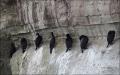 California;USA;Brandts-Cormorant;Cormorant;Phalacrocorax-penicillatus;Breeding-C