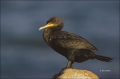 California;Southern;USA;Double-crested-Cormorant;Cormorant;Double-crested-Cormor