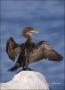 Double-crested-Cormorant;Cormorant;Double-crested-Cormorant;Phalacrocorax-auritu