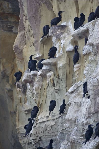 California;USA;Brandt's Cormorant;Cormorant;Phalacrocorax penicillatus;Breeding Colony;close-up;color image;nobody;photography;day;outdoors. Wildlife;birds;animals in the wild;Cliffs;Cliff