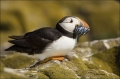 Puffin;Atlantic-Puffin;Prey;Fratercula-arctica;one-animal;close-up;color-image;n