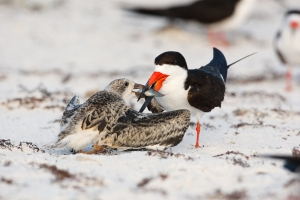 Black-Skimmer;Rynchops-niger;Skimmer;bond;bonding;chick;chicks;family;innocent;j