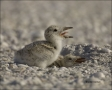 Chick;one-animal;close-up;color-image;photography;day;birds;animals-in-the-wild;