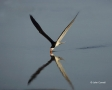 Florida;Southeast-USA;Flight;Rynchops-niger;Black-Skimmer;Flying-bird;One-animal