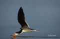 Florida;Southeast-USA;Flight;Rynchops-niger;Black-Skimmer;Flying-bird;action;alo
