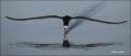 Black-Skimmer;Florida;Southeast-USA;Flight;Foraging;Rynchops-niger;flying-bird;o