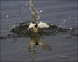 Least-Tern;Tern;Flight;Sterna-antillarum;Prey;flying-bird;one-animal;close-up;co