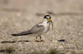 Tern;Florida;Southeast-USA;Least-Tern;Tern;Florida;Southeast-USA;Sterna-antillar