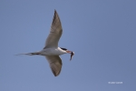 Flying-Bird;Forsters-Tern;Forsters-Tern;Photography;Prey;Sterna-fosteri;Tern;act