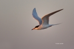 Flying-Bird;Forsters-Tern;Forsters-Tern;Photography;Sterna-fosteri;Tern;action;a