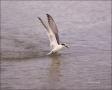 Forsters-Tern;Tern;Flight;Sterna-forsteri;feeding-behavior;one-animal;close-up;c