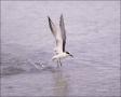 Forsters-Tern;Tern;Flight;Prey;Sterna-forsteri;feeding-behavior;one-animal;close