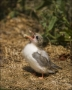 Arctic-Tern;Tern;Chick;Sterna-paradisaea;one-animal;close_up;color-image;nobody;