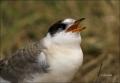 Arctic-Tern;Tern;Juvenile;Sterna-paradisaea;one-animal;close_up;color-image;nobo